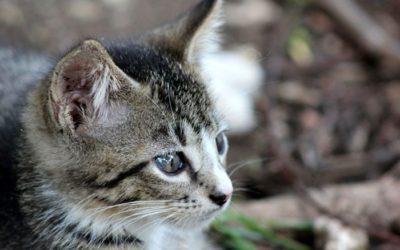 Gatos y diabetes: consulta a tu clínica veterinaria.