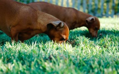 Perros que se alimentan de hierba.
