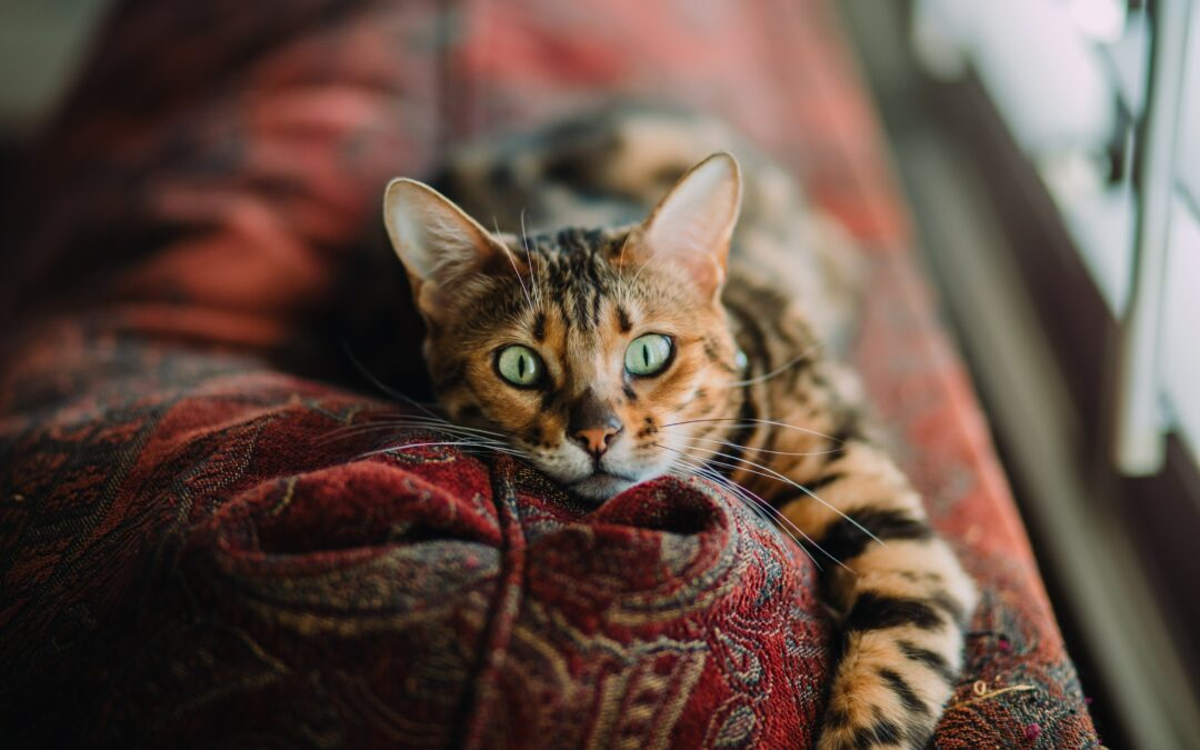 Dermatitis en gatos.