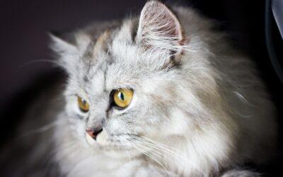 Panleucopenia felina.